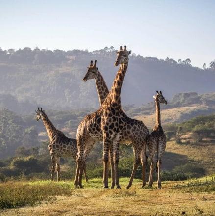 Giraffes in Pietermaritzburg